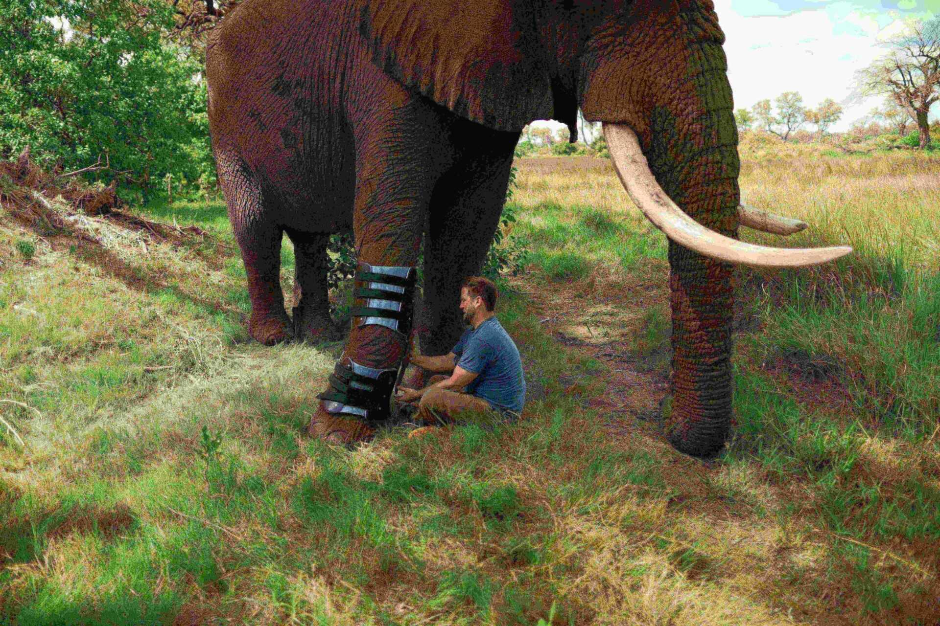 Derrick putting on Jabu's (elephant's) prosthetic.